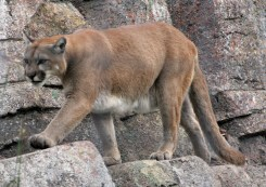 Mountain lion descending
