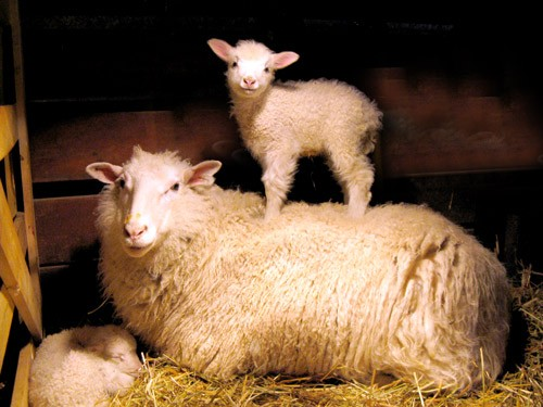 Photo of ewe standing on its mother's back from Harvest Home Farm