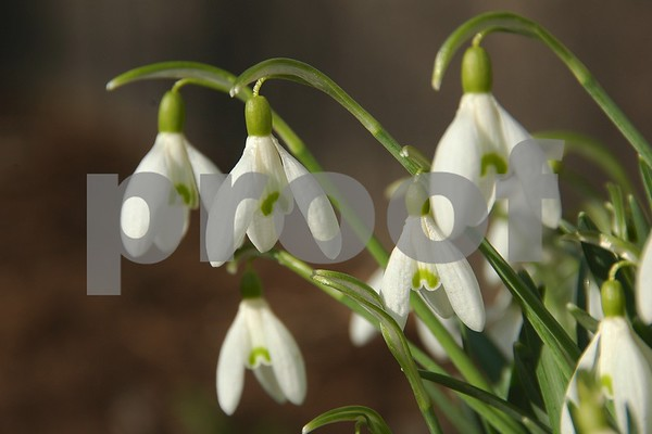 Snowdrop wildflowers