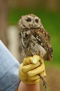 Easter Screech Owl