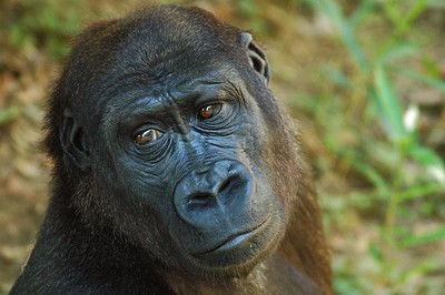 Young male Western Lowland Gorilla