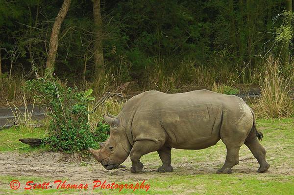White Rhino taken on the Kilimanjaro Safari at 80mm focal length.