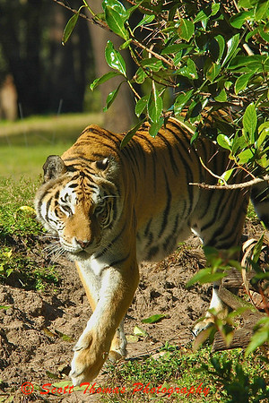 An Asian Tiger stalking as seen from the Maharajah Jungle Trek.