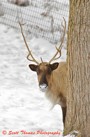 A camera shy Caribou at the Rosamond Gifford Zoo in Syracuse, New York.