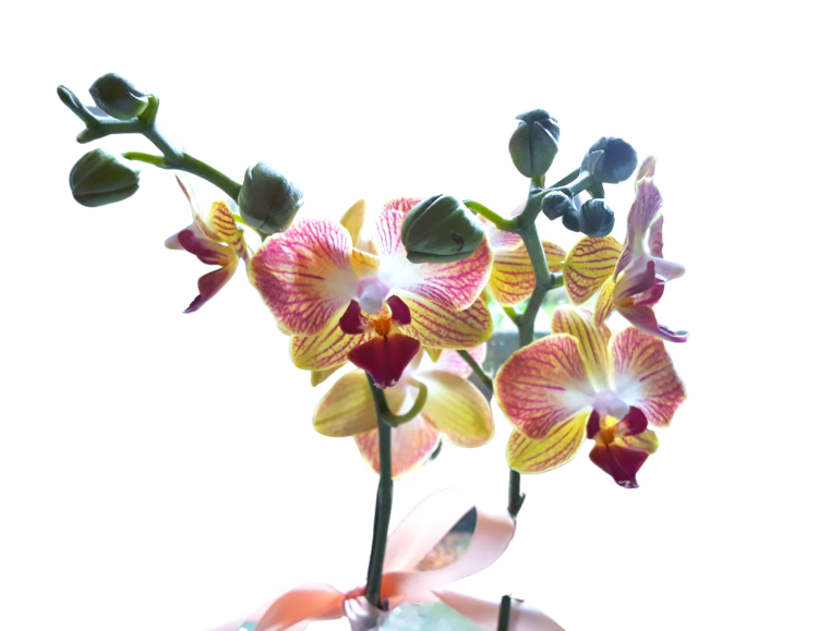 Pink and yellow orchids with green flower buds