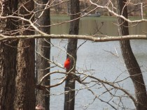 Cardinal- Male
