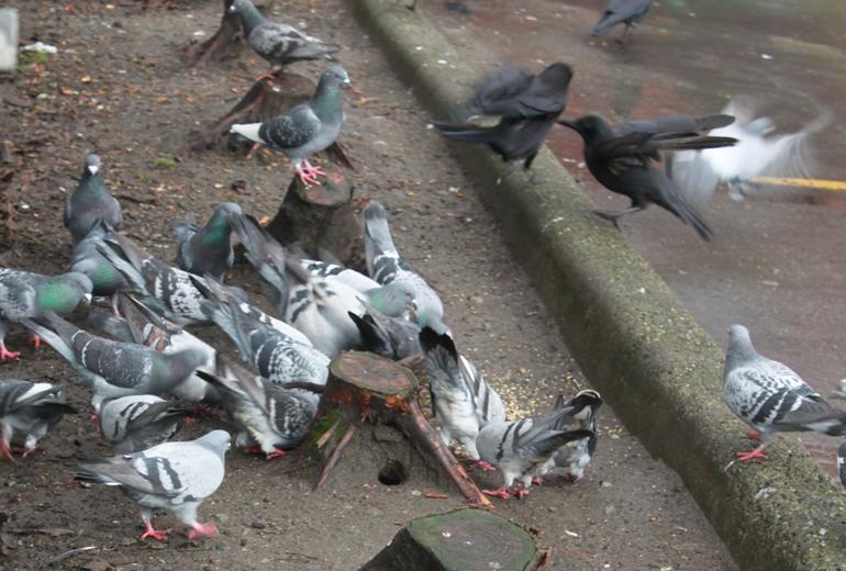 crowpigeon