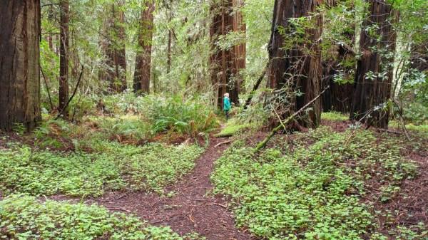 Redwoods D4-1