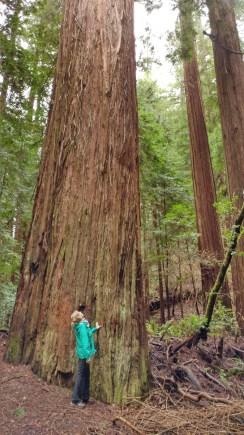 Redwoods D4-2