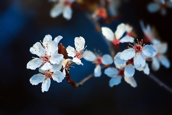 Blossoms on a plum tree Victoria, British Columbia, Canada.
