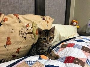 Harvey the bengal kitten