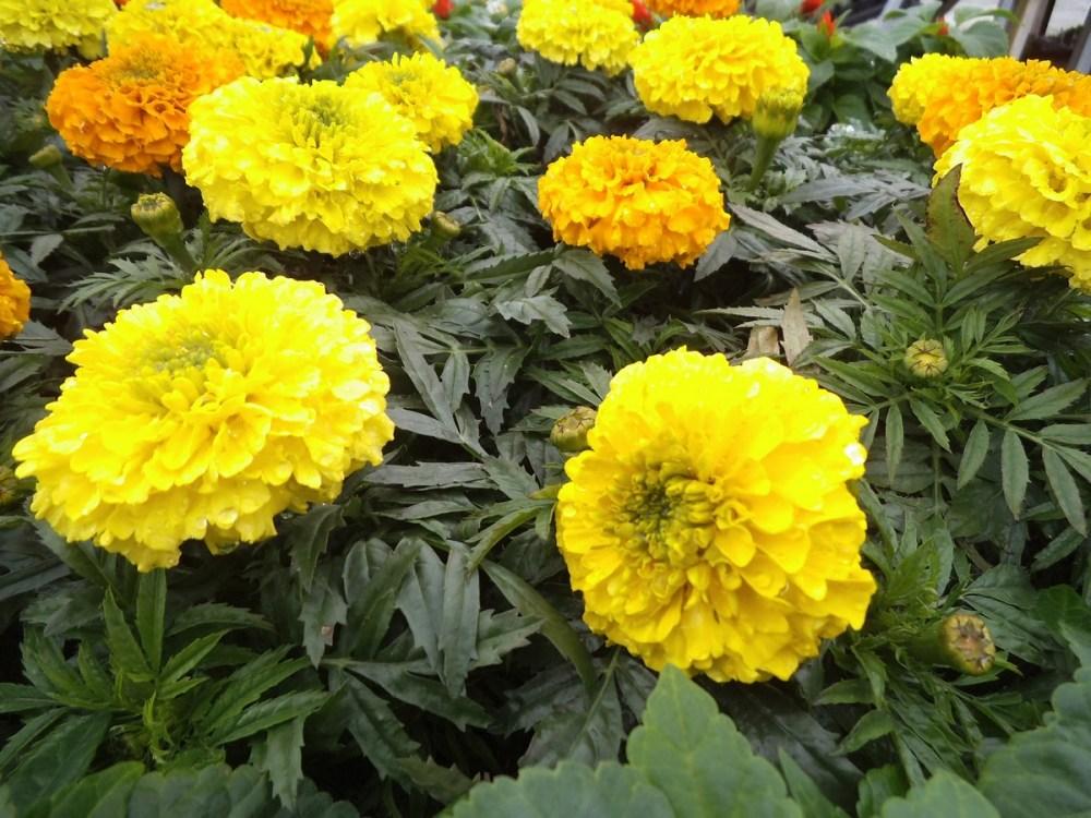 Spring -flower-power no 4: Marigold(Afrikaner- afrikaans!) (3/6)