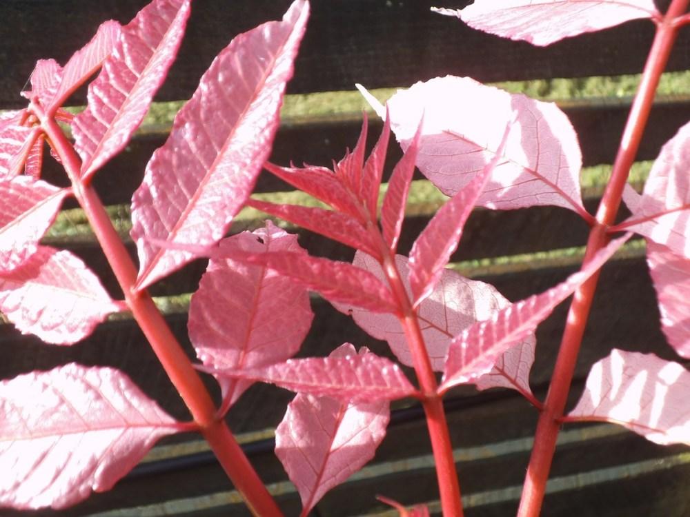 Flamingo tree leaves: Festival of leaves Week 3 (6/6)