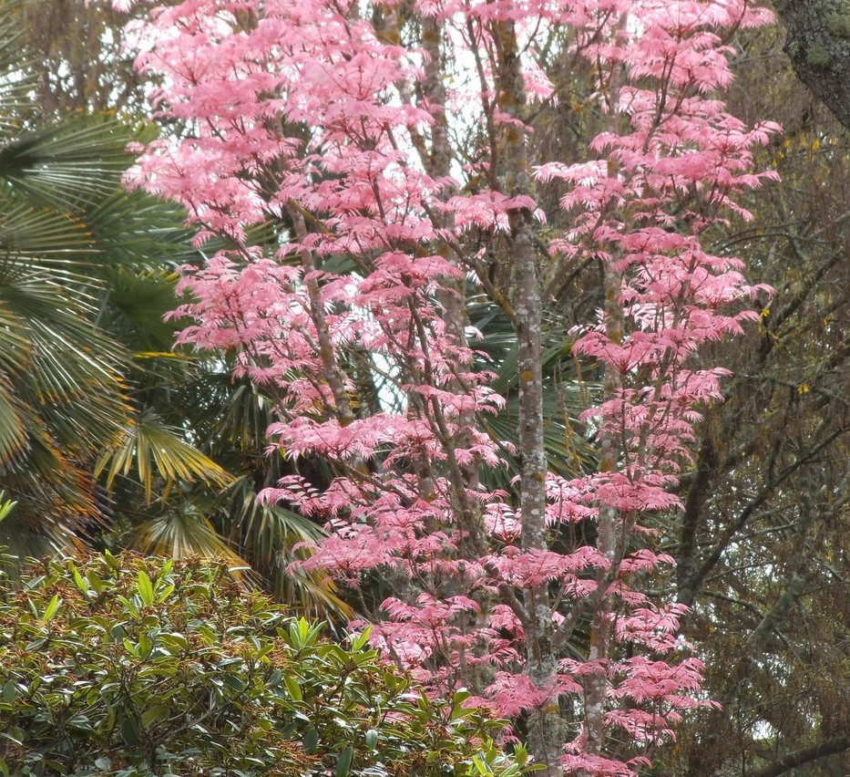 Flamingo tree leaves: Festival of leaves Week 3 (3/6)