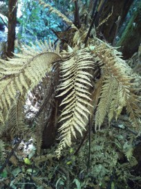 copper fern