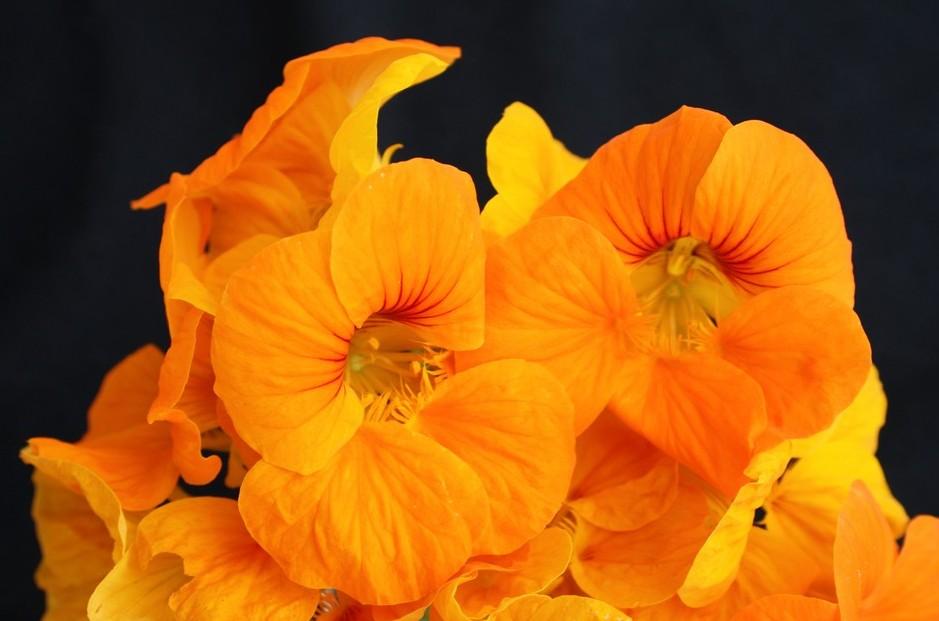 Kappertjie/ Nastartium : Flower power (1/3)