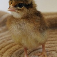 Hatching This Week: Brown Leghorns