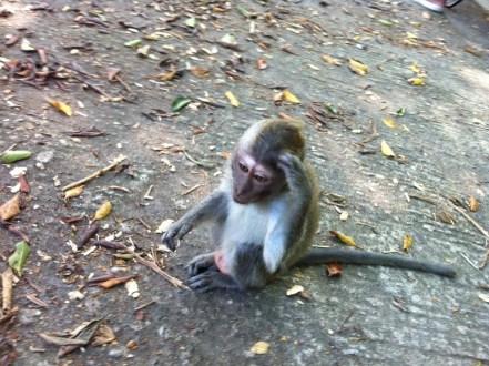 Lombok monkeys