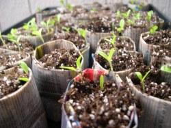 Assorted lettuce seedlings. Chrystal, Tom Thumb, Iceberg, Romain, and Butterfly