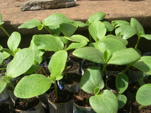 Squash Seedlings almost ready to go in the garden. Waiting for the true leaves to show.
