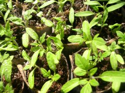 Tomato Seedlings getting their first true leaves. In another week I will move them to the garden.