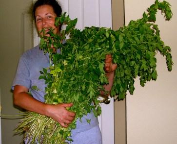 First Oregano Harvest.