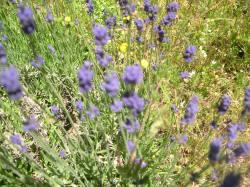 Four Year old Lavender-Lavandula angustifolia