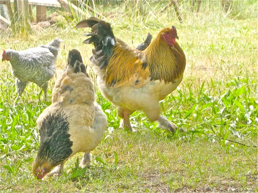 Buff Brahma Hen and Rooster