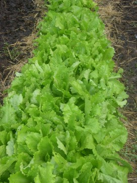 Lettuce bed is happy, salads and juice from our bed every day. I am starting more lettuce sprouts for this fall. I start new lettuce plants every two weeks to keep my bed going.