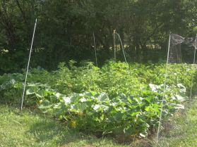 Potatoes are falling back and dying off from heat. I planted squash which will grow over the dying potato vines.