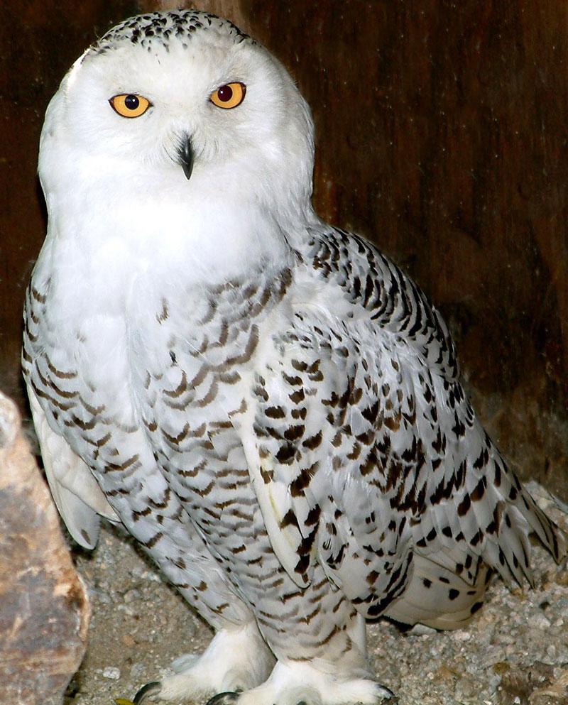 European Owls - Screech Owl Wildlife Park