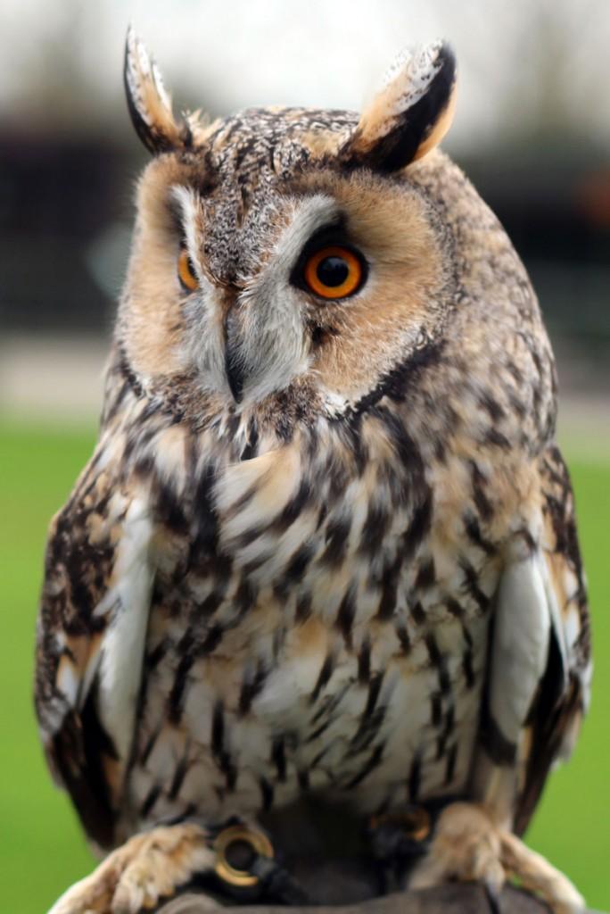 British Owls - Screech Owl Wildlife Park