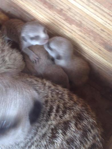 Baby Meerkats now 3 weeks old