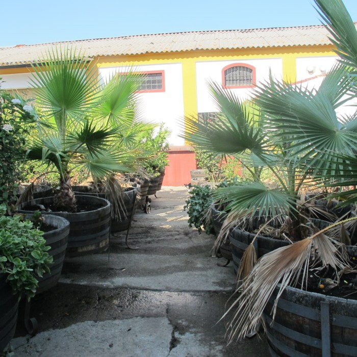 The patio of the 100-year-old bodega, with palm trees in old barrels.
