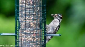 Fav Foto Friday Downy Woodpecker