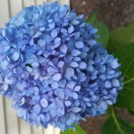 Fav Foto Friday Blue Hydrangea