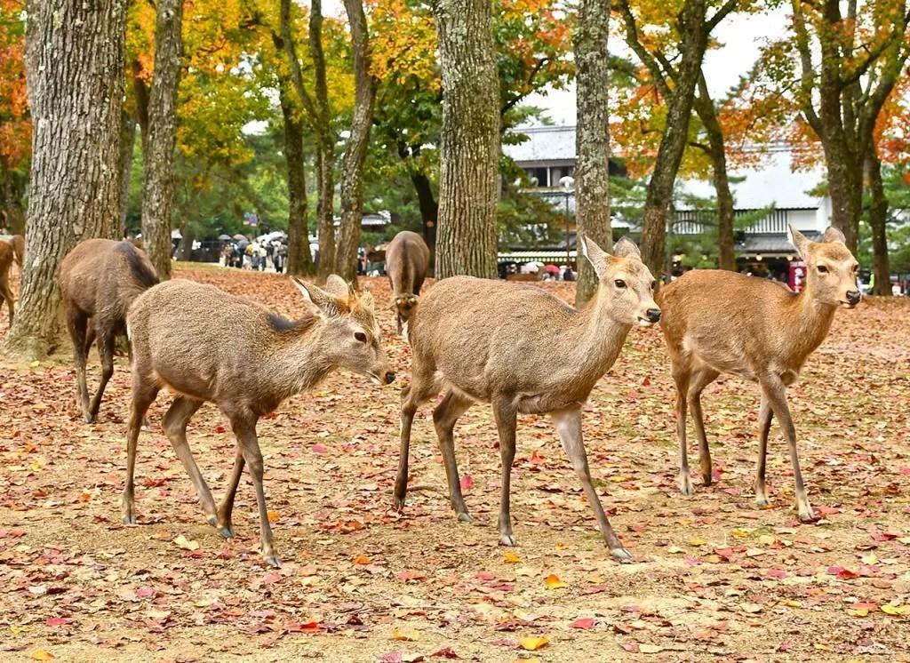 Trio of deer at Nara Deer Park, Japan