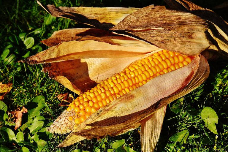 corn_corn_on_cob_35