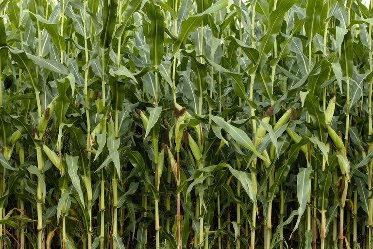 corn_green_nature_cornfield