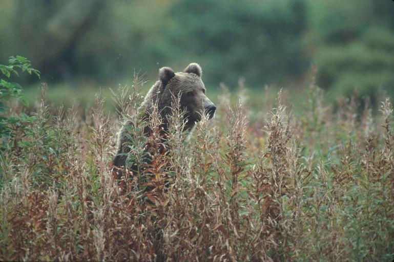 bear_standing_among_tall