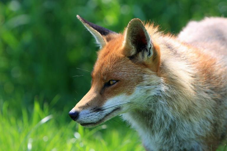 fox_red_fox_animal_0