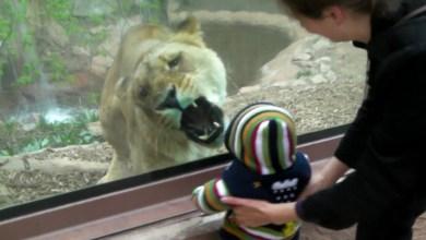 Photo of ლომი ბავშვის შეჭმას ცდილობს
