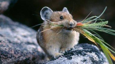 Photo of ადამიანის სისხლის პლაზმის ინექციებით თაგვები გაახალგაზრდნენ