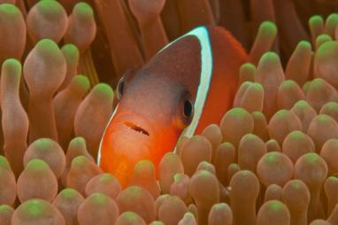 Anemonefish by Marty Snyderman