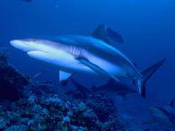 Grey reef sharks in Kadavu, Fiji