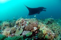 Manta Reef, Kadavu, Fiji