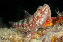 Lizardfish in Fiji by Marty Snyderman
