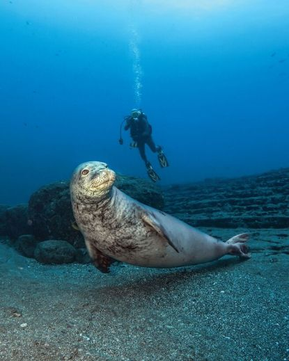 Monk seal and diver