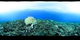 Like many coral reefs throughout the ocean, the reefs of Hawaiian Islands Humpback Whale National Marine Sanctuary are currently experiencing a massive bleaching event. The changing climate means rising ocean temperatures; these warmer temperatures stress the corals, causing them to expel the colorful symbiotic algae that they need to survive. Divers to the area can increase the corals' chances of recovery by making sure not to touch or kick sediment over the reef. (Photo credit: NOAA)