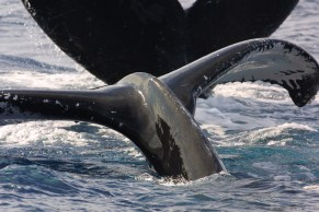 Humpback whales' impressive acrobatic displays are often visible from miles away. These whales are often identified by scars and patterns of white pigmentation on the underside of their tails, which are unique to each whale. (Photo credit: NOAA Permit #782-1438)